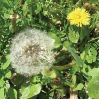 <center>Dandelion