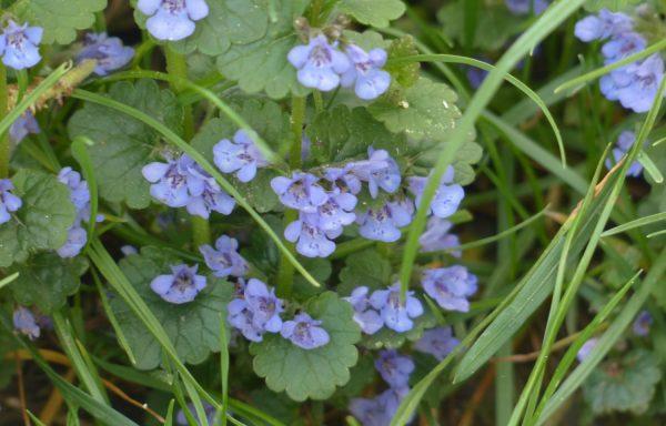 ground ivy in bloom creepy charlie in bloom