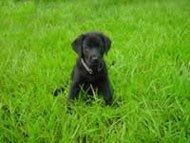 lawn_dog